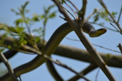 Snake slithering through tree branches