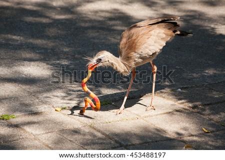 Snake Smashing Red Legged Seriema