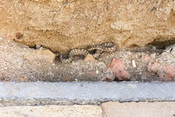 Snake. Steppe viper. Middle Asia. The color of the Asian snake. The viper is hiding among the stones. Snake viper in an ancient abandoned city. Viper in natural habitat