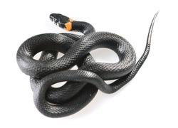Snake studio shot.
