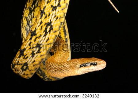 Snake, Taiwan Beauty Snake