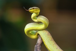 Snake trimeresurus purpureomaculatus is a venomous pit viper species native to Southeast Asia. Common names include: green mangrove pit viper, green mangrove viper.
