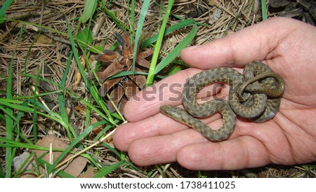 Snake . water snake is a non venomous.  Snake in the hand of man in the woods, forest Handling snake. Veterinarian exotic. Veterinarian wildlife. veterinary medicine. animal, animals, reptile.