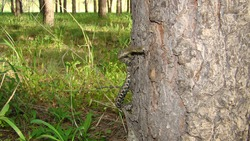 Snake . water snake is a non venomous.  Snake in the woods, forest It looks like a worm. Veterinarian exotic. Veterinarian wildlife. veterinary medicine. animal, animals, reptile.