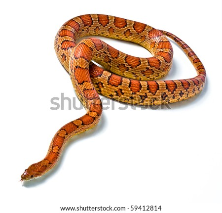snake.young boa constrictor on a white background