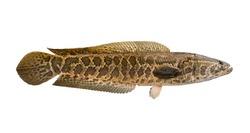 Snakehead fishing. Alive snake fish isolated on white background