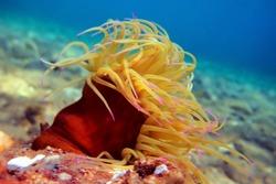 Snakelocks sea anemone - Anemonia sulcata