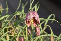 Snakes head fritillary, Fritillaria meleagris.  The fritillary is a bulbous perennial plant native to Europe and Western Asia. The attractive bell-shaped flower has an unusual checkered pattern.