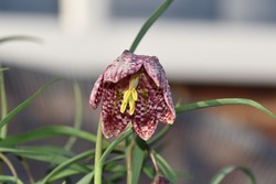 Snakes head fritillary, Fritillaria meleagris. This is a bulbous perennial flowering plant belonging to the lily family. The attractive bell-shaped flower has an unusual checkered pattern, rarely seen