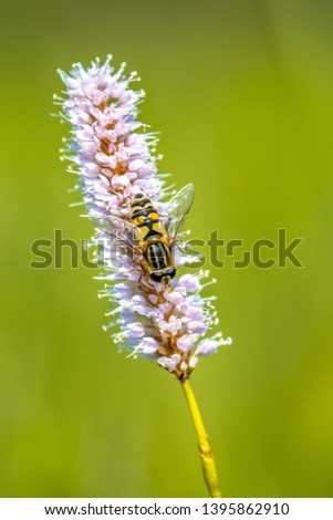 Snakeweed (Polygonum bistorta) flower blooming with hoverfly  insect eating nectar