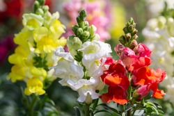 Snapdragon flower and green leaf in garden at sunny summer or spring day.