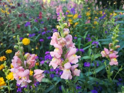 Snapdragon flowers (Antirrhinum) in the garden. Meaning & Symbolism of Snapdragon Legend has it that concealing a snapdragon makes a person appear fascinating and cordial. Flowers nature background.