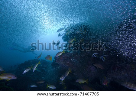 Snapper and other fish hunting glass fish on a coral reef with the sun and a diver in the background!