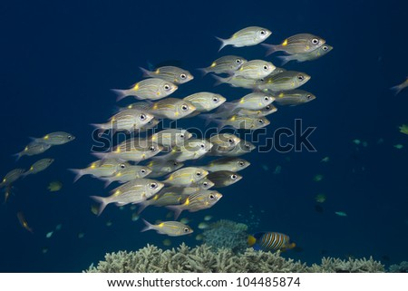 Snappers yellow tail, Ocyurus chrysurus in deep blue of indian ocean. Picture take in Ari atoll - Maldives - stock photo