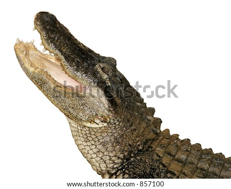 Snapping Alligator, Isolated