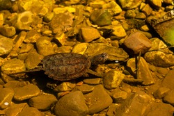 Snapping Turtle (Chelydra serpentina) under water. Snapping turtles live in most aquatic habitats but prefer ponds, lakes and the backwaters of rivers.
