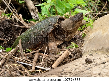 Snapping Turtle in muddy swamp laying eggs.