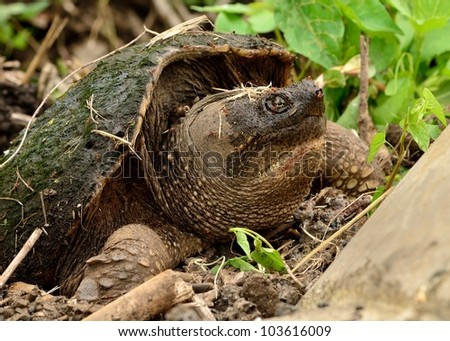 Snapping Turtle laying eggs in an ant hill and covered with ants.