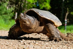 Snapping turtle out of water looking for a nesting place