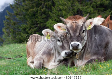 "Snapshot ""Alpine cow with Calf"" is made overcast day in the high mountains of Merano(South Tyrol)."