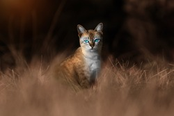 Snapshot of blue eyes cat standing in the grass. Sepia concept.