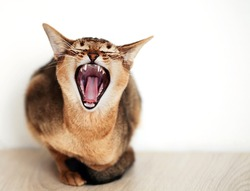 snarling cat  with a small depth of field