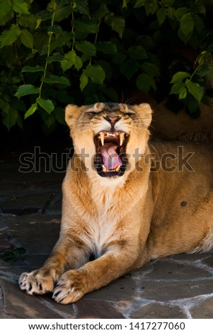 Snarling gluttonous mouth of a lion lying in the dark under a bush. Powerful beautiful lioness (female lion) close-up on a dark background.