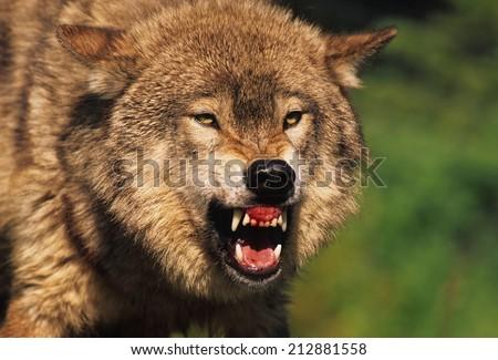 Snarling Grey Wolf #212881558