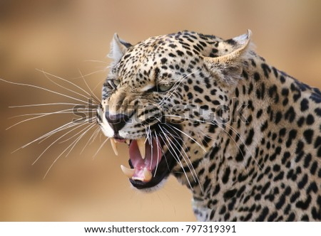 Snarling leopard portrait in the Timbavati. #797319391