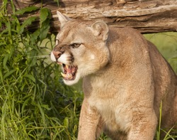Snarling Mountain Lion Close-up