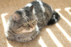 Sneaky curious sad tabby cat laying on floor & looking. Gray tabby cat missing alone at home. Big fat fanny sneaky cat making melancholy face. Cute pet sneaky kitty laying in sunlight. Tabby kitten