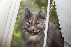 Sneaky longhair grey cat peeking out from window blinds