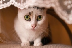 Sneaky white cat looking under the table