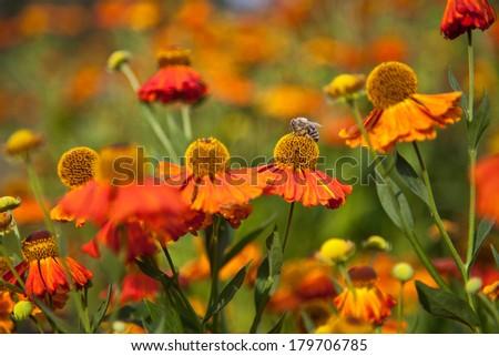 Sneezeweed / Helenium with bee