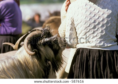 sniffing goat