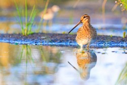 snipe with beautiful plumage and long beak
