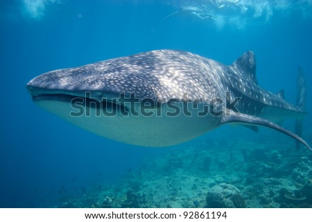Snorkeling with a Whale Shark in the Maldives