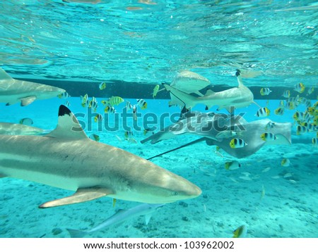 Snorkeling with blacktip reef sharks, stingrays and butterfly fish in the shallow, clear water of the lagoon of Bora Bora, an island in the Tahiti archipelago French Polynesia.
