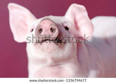 Snout of young pig on pink background, close-up photo.