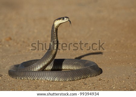 Snouted Cobra (Naja annulifera) hooded in defensive posture, tongue out, South Africa