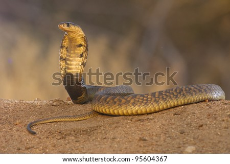 Snouted Cobra (Naja annulifera) with hood up in defensive posture, South Africa