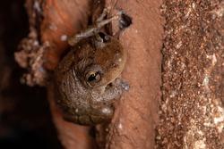 Snouted Tree Frog of the species Genus Scinax