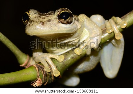Snouted tree frog (Scinax sp.)