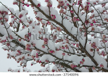 stock-photo-snow-and-blossom-37540096.jpg