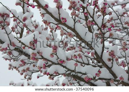 stock-photo-snow-and-blossom-37540096.jpg