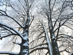 snow and frost beautifully decorate the branches of trees. natural landscapes, winter sunny snowy day.