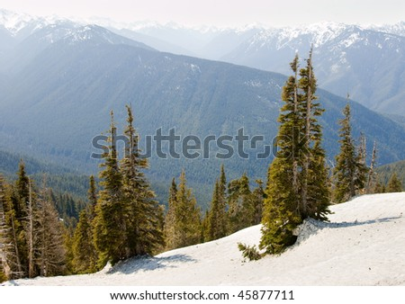 snow bank and pine trees with Hurricane Ridge