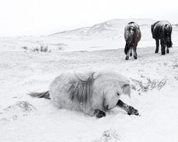Snow bath. Icelandic Horses grazing, during snowy winter. One of the horses do a snow bath. In the background two horses leave the  bathing area.   Happy New Year and Christmas. Iceland Nature.