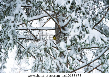 snow branches on fir branches