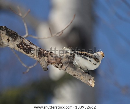 Snow Bunting perched on a branch